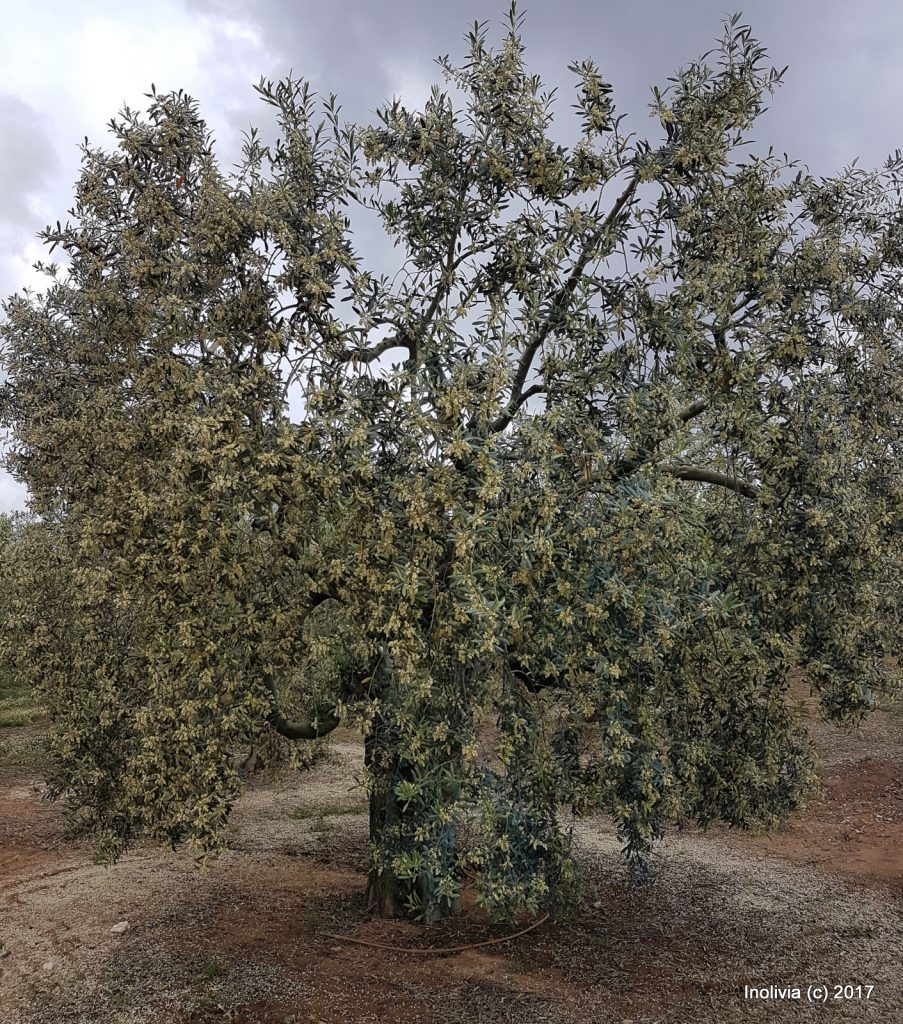 OliveTreeFlowers